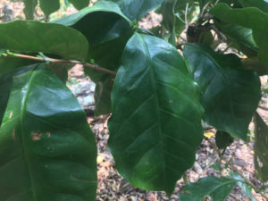 Kaffeepflanze in Mexiko